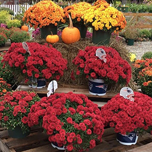 Fall Mums at Grasshoppers Garden Center