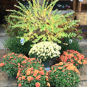 Fall Mum Plants Weare NH