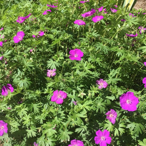 Perennial Geraniums New Boston NH