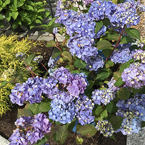 Hydrangea Bushes Amherst NH