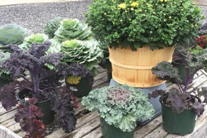 Ornamental Cabbage Plants Goffstown NH