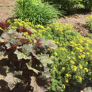 Sedum and Heuchera New Boston NH