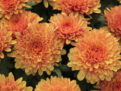 NH_fall_mums