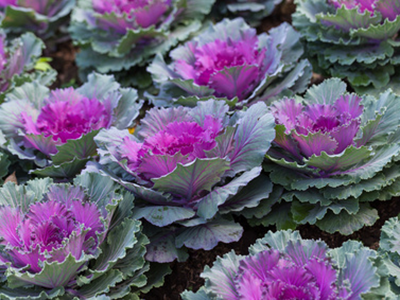 NH_ornamental_kale