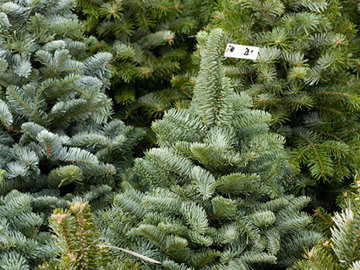 christmas_trees_amherst